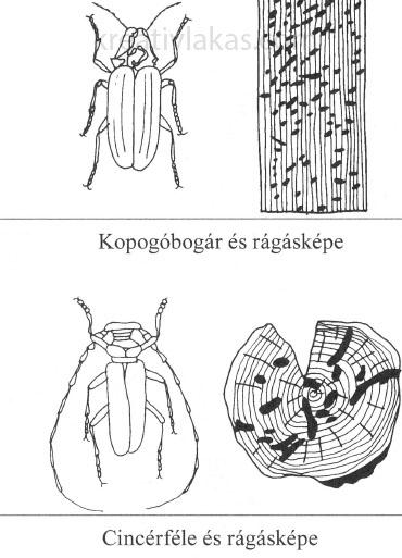 Kopogóbogár és cincérféle