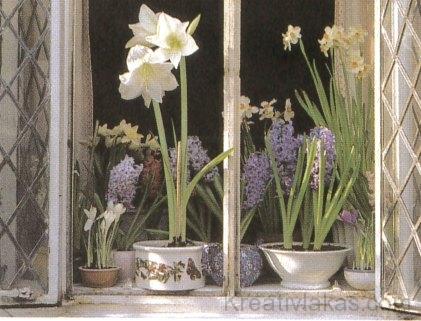 Tavaszi virágok az ablakban: fehér amarillisz, nárcisz, jácint és krókusz